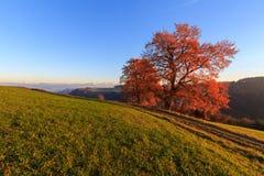 Красное дерево осени с путем на заходе солнца стоковое фото rf