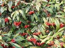 Красное дерево зеленого цвета und ягод Стоковые Фото
