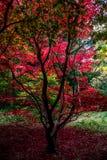 Красное дерево осени, Queenswood, Herefordshire Стоковое Изображение