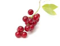 Красное дерево птиц-вишни стоковые изображения