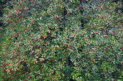 Красное дерево ягод Стоковые Изображения RF