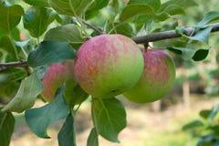 Красное зеленое яблоко в дереве paulared свежий органический сад лета плодоовощ Стоковые Фото