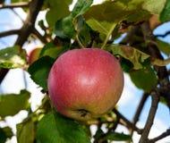Красное зрелое яблоко на ветвях дерева против неба Стоковое Изображение RF