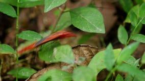 Красное избежание черепашки hemipteran сток-видео
