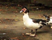 Красное лицо утки Стоковая Фотография
