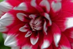Красное и белое hortensis георгина x георгина Стоковая Фотография RF