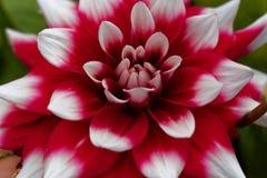 Красное и белое hortensis георгина x георгина Стоковые Фотографии RF