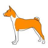 Красное и белое положение собаки basenji Стоковые Изображения RF
