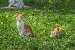 2 красное и белые котята Стоковые Изображения RF