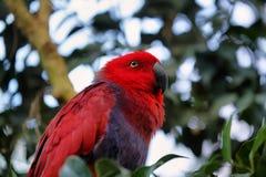 Красное и голубое roratus Eclectus попугая Electus Стоковое Фото