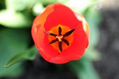 Красное и желтое взгляд сверху бутона тюльпана, конец-вверх Bokeh, малая глубина поля Стоковое Изображение
