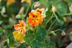 Красное и желтое растущее цветков настурции в саде Стоковое Изображение RF