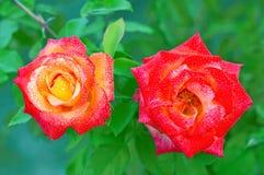 2 красн-желтых розы Стоковые Фото