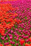 Красное и розовое поле цветка тюльпана Стоковое Изображение