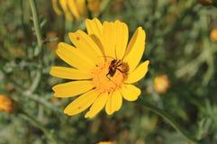 Красное и черное насекомое на желтом цветке маргаритки стоковые фотографии rf