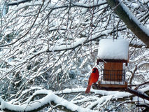 Красное кардинальное дерево снега птицы Стоковые Изображения RF