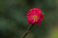 Красное китайское цветение сливы Стоковые Изображения RF