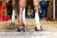 Красное копыто лошади стоя в конюшне стоковые изображения