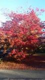 Красное красивое дерево на сезоне падения Стоковое Изображение