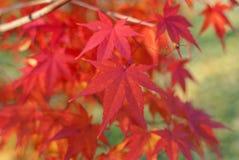 Красное листво Асера Palmatum, стоковые фотографии rf