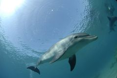 Красное Море дельфина Стоковое фото RF