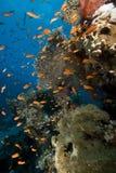 Красное Море жизни морское тропическое Стоковое Изображение