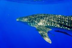 Красное Море китовой акулы Стоковое Изображение RF