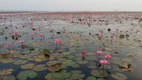 Красное море лотоса Стоковое фото RF