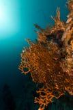 Красное Море пожара коралла Стоковые Фото