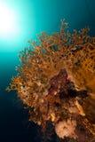 Красное Море пожара коралла Стоковое фото RF