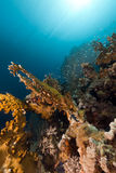 Красное Море пожара коралла Стоковая Фотография RF