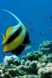 Красное Море рыб знамени стоковая фотография rf
