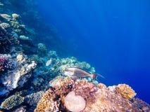 Красное Море рыб коралла Safaga, Египет Стоковые Изображения