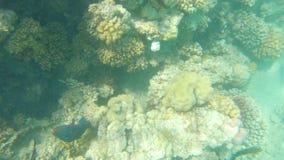 Красное Море рыб Пестротканый заплыв рыб акции видеоматериалы