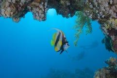 Красное Море свисания bannerfish вниз Стоковая Фотография
