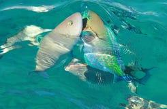 Красное Море 2 fishs стоковые изображения