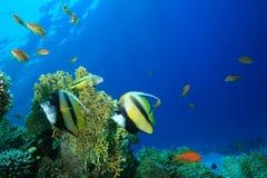 Красное Море bannerfish Стоковое фото RF