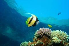 Красное Море bannerfish Стоковая Фотография RF