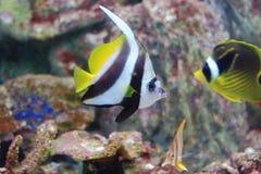 Красное Море bannerfish Стоковые Фото