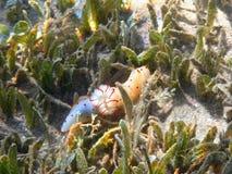 Красное Море gymnodorid Цейлона Стоковое Изображение