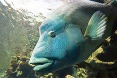 Красное Море napoleon рыб стоковые изображения