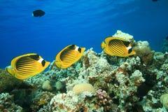 Красное Море raccoon butterflyfish Стоковое фото RF