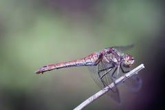 Красное насекомое клеветы Стоковые Изображения RF