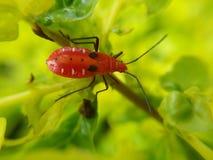 Красное насекомое Стоковые Фото