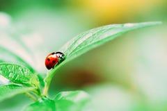 Красное насекомое Ladybug на зеленых лист Стоковые Изображения RF