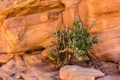 Красное образование камня пустыни и одно дерево Стоковые Изображения RF