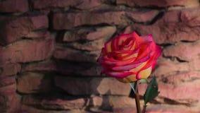 Красное одно розовое солнце весны предпосылки камня цветка не затеняет никто отснятый видеоматериал hd сток-видео