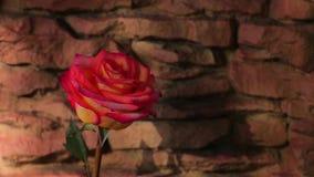 Красное одно розовое солнце весны предпосылки камня цветка не затеняет никто отснятый видеоматериал hd акции видеоматериалы