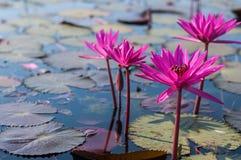Красное озеро лотоса в Таиланде Стоковое фото RF