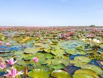 Красное озеро поля лотоса в udonthani Таиланда Стоковая Фотография RF